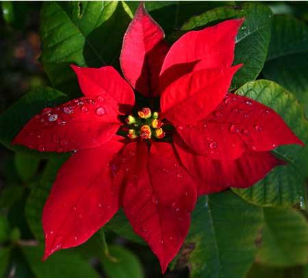 Poinsetia o flor de pascua