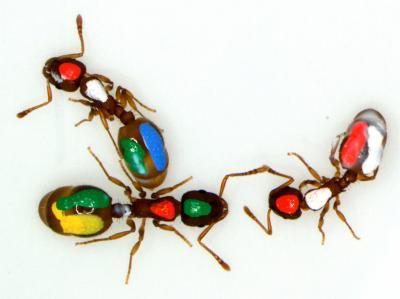 hormigas pintadas