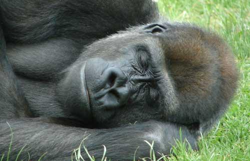Gorila durmiendo